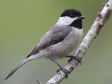 Carolina_Chickadee1_by_Dan_Pancamo