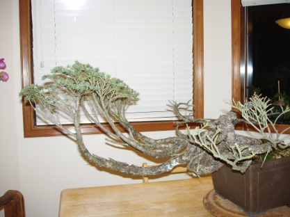 Photo taken circa winter 2004. This is my hemlock before any styling was done. It was barely hanging on to life.