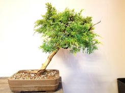 May 14th World Bonsai Demo Tree