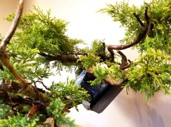 Air layered branch for future cascade bonsai.
