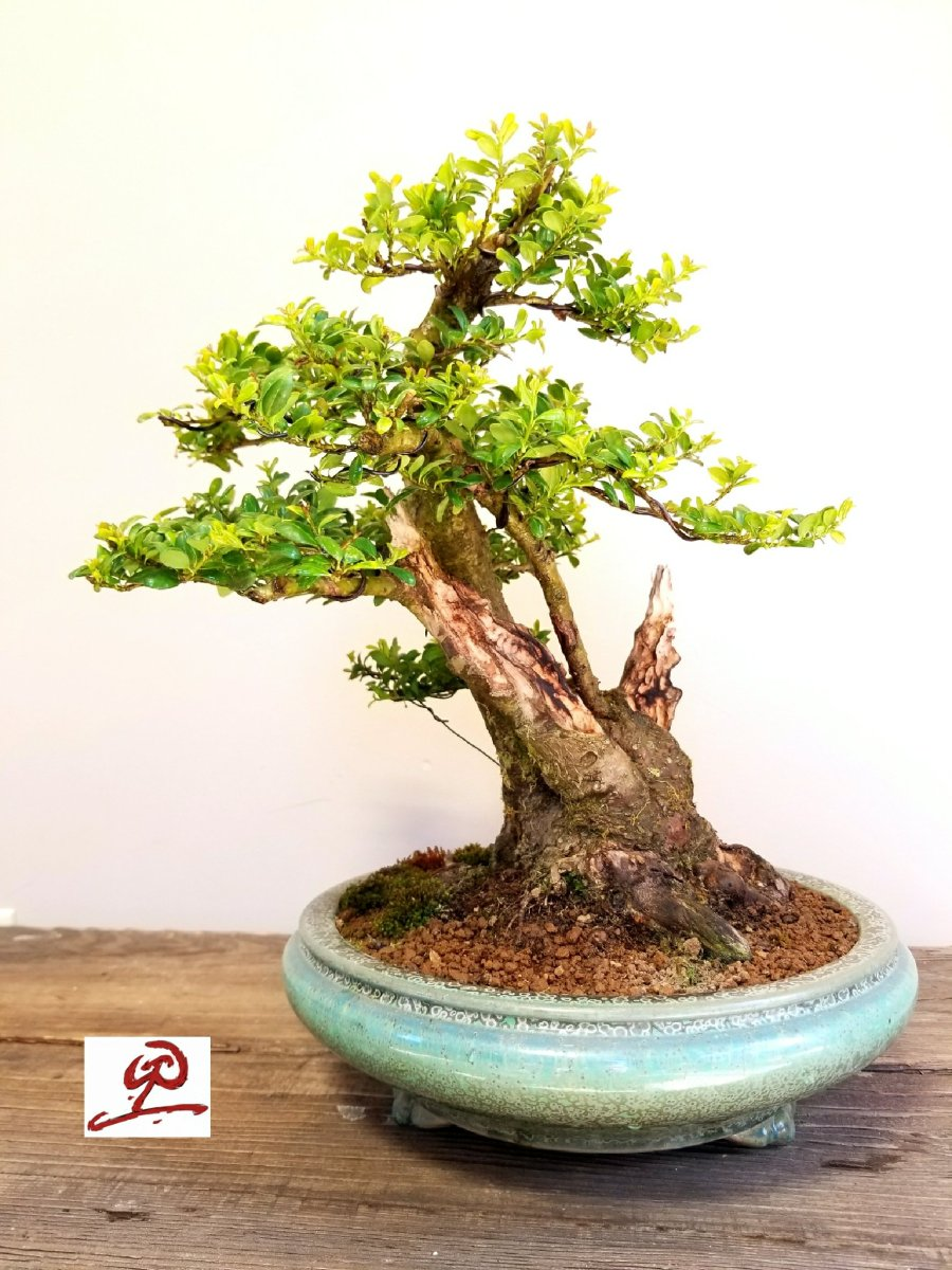 Bonsai Insane Boinsane Or Bonsane Bonsaiko Wiring Lesson